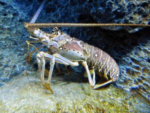 Lobstering in Keylargo